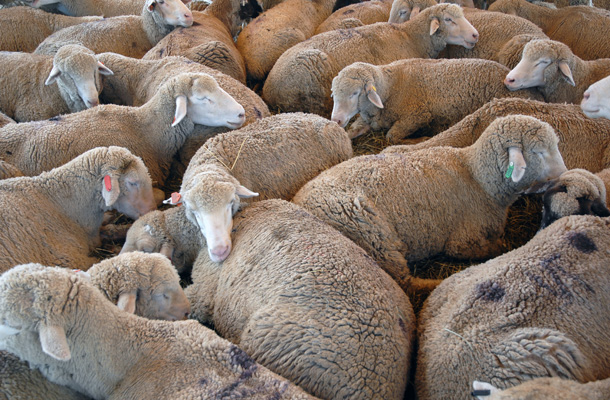Viande de mouton